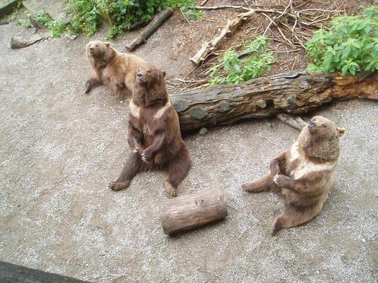 Some residents of the bear pit in Berne.