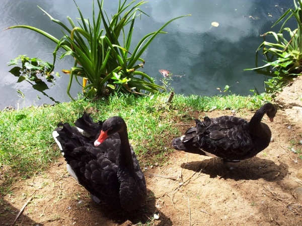 These black swans are beautiful!